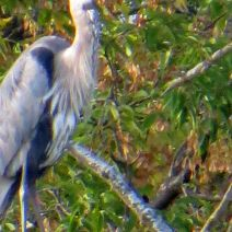 heron-painting